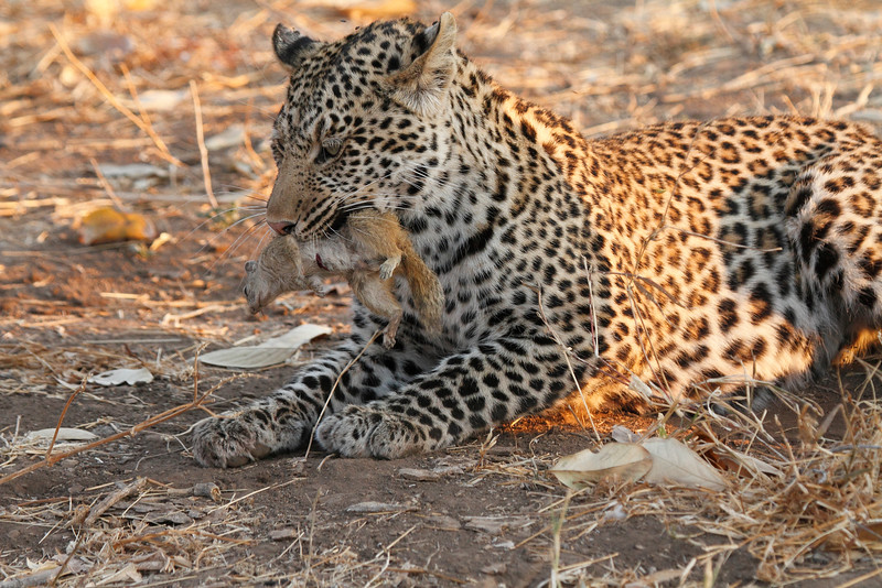 Leopard_Squirrel_Mashatu_Botswana0015