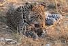 Leopard_Squirrel_Mashatu_Botswana0044