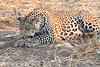 Leopard_Squirrel_Mashatu_Botswana0011