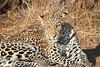Leopard_Mashatu_Botswana0042