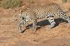 Leopard_Mashatu_Botswana0010
