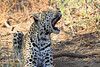 Leopard_Mashatu_Botswana0053