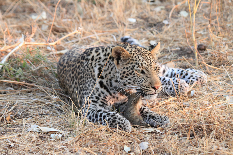 Leopard_Squirrel_Mashatu_Botswana0078