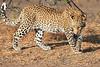 Leopard_Mashatu_Botswana0022