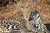 Leopard_Mashatu_Botswana0041
