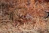 Leopard_Kaingo_Zambia0009