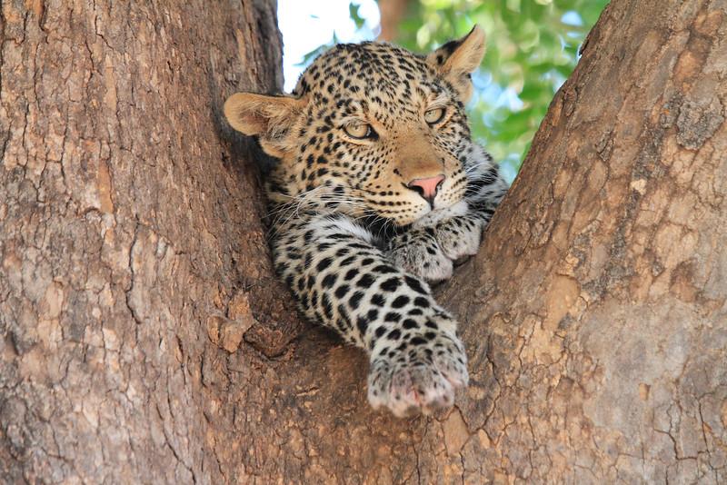Leopard_Mashatu_Botswana0058