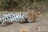 Leopard_Mashatu_Botswana0092