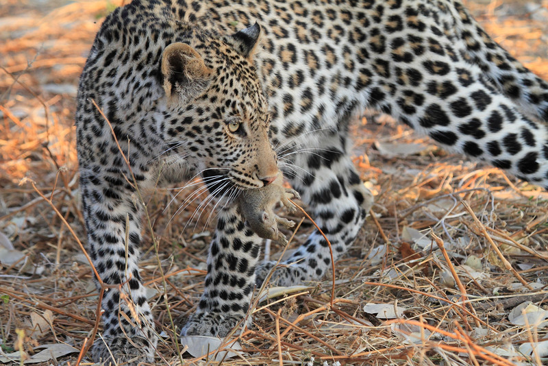 Leopard_Squirrel_Mashatu_Botswana0018