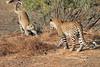 Leopard_Mashatu_Botswana0012