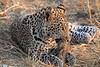 Leopard_Squirrel_Mashatu_Botswana0054