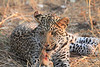 Leopard_Squirrel_Mashatu_Botswana0068