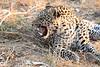 Leopard_Squirrel_Mashatu_Botswana0033