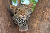 Leopard_Mashatu_Botswana0060