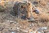 Leopard_Squirrel_Mashatu_Botswana0028