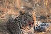 Leopard_Squirrel_Mashatu_Botswana0056