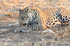 Leopard_Squirrel_Mashatu_Botswana0012