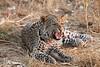 Leopard_Squirrel_Mashatu_Botswana0082