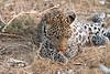 Leopard_Squirrel_Mashatu_Botswana0102