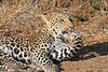 Leopard_Mashatu_Botswana0047