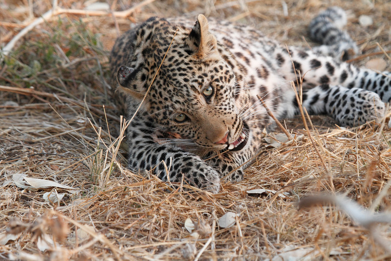 Leopard_Squirrel_Mashatu_Botswana0099