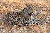 Leopard_Squirrel_Mashatu_Botswana0021
