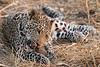 Leopard_Squirrel_Mashatu_Botswana0091