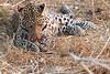 Leopard_Squirrel_Mashatu_Botswana0092