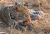 Leopard_Squirrel_Mashatu_Botswana0052