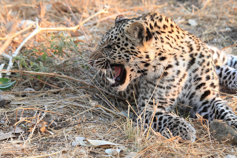 Leopard_Squirrel_Mashatu_Botswana0035