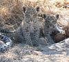 Leopard cubs Chitabe Botswana