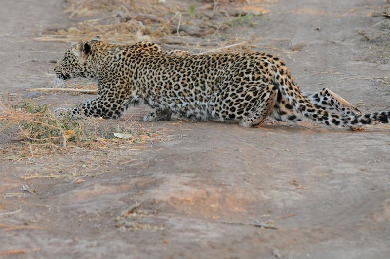 Leopard_Mashatu_Botswana0070