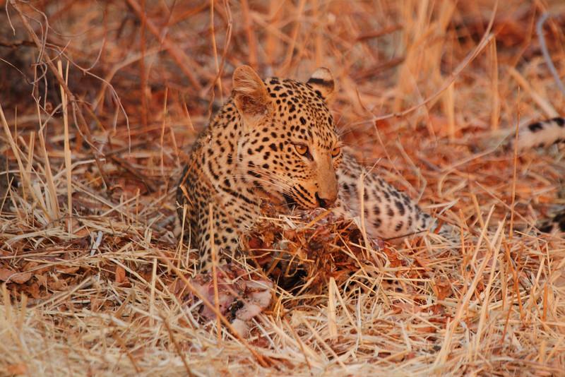 Leopard_Kaingo_Zambia0020