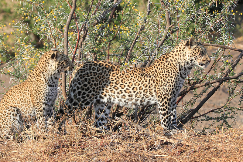Leopard_Mashatu_Botswana0033