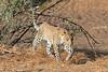 Leopard_Mashatu_Botswana0038