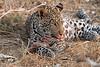 Leopard_Squirrel_Mashatu_Botswana0094