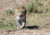 Leopard Mara Rekero