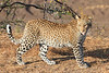 Leopard_Mashatu_Botswana0020