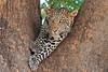 Leopard_Mashatu_Botswana0066