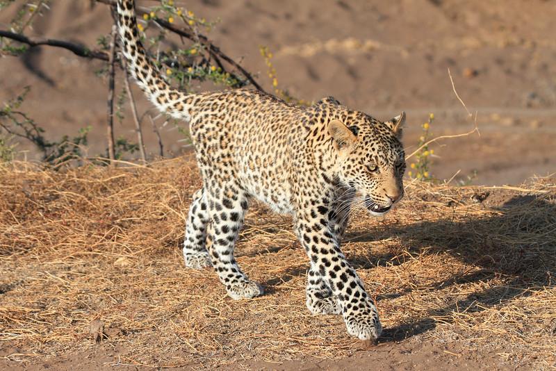 Leopard_Mashatu_Botswana0040