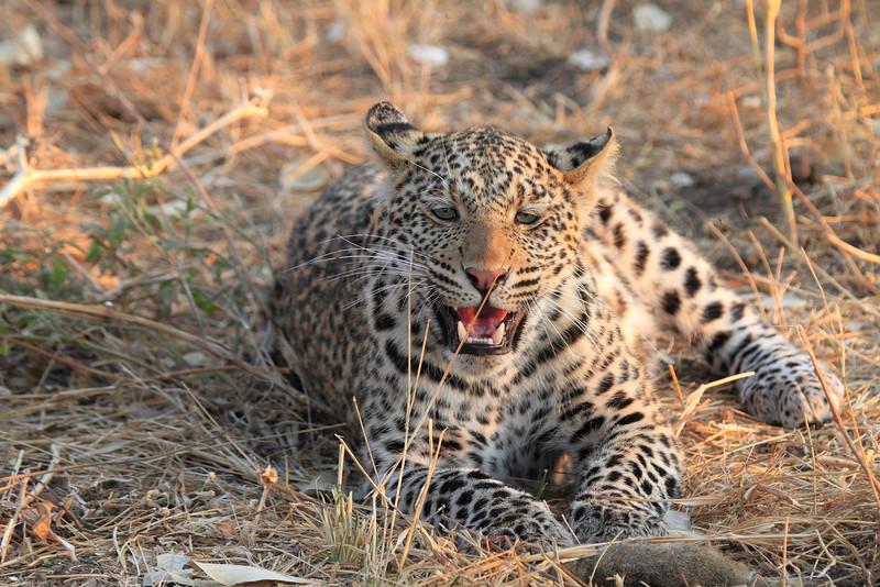 Leopard_Squirrel_Mashatu_Botswana0030