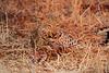 Leopard_Kaingo_Zambia0016