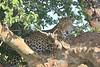 Leopard Mara Topi House