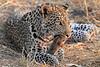 Leopard_Squirrel_Mashatu_Botswana0066