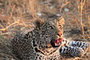 Leopard_Squirrel_Mashatu_Botswana0057