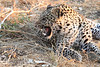 Leopard_Squirrel_Mashatu_Botswana0036