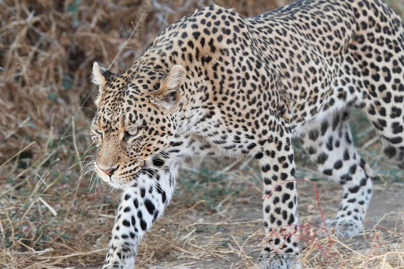 Leopard_Mashatu_Botswana0084