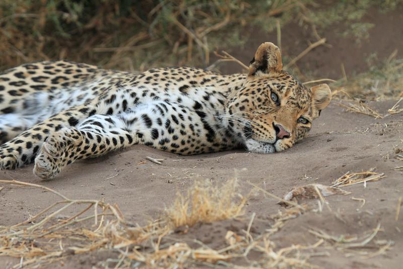 Leopard_Mashatu_Botswana0091
