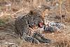 Leopard_Squirrel_Mashatu_Botswana0080