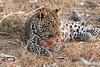 Leopard_Squirrel_Mashatu_Botswana0095
